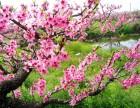 三月桃花开,我们一起去林芝看桃花