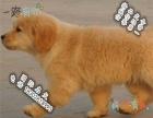 家养纯种金毛犬便宜出售了 喜欢的可以加我详聊