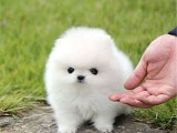 纯种博美犬 欢迎上门 送全狗用品 健康签协议