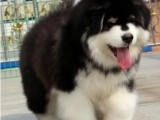 河北张家口阿拉斯加幼犬一般多少钱