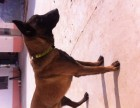 扬州马犬基地 养殖马犬价格 杜高犬价格