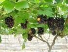 水果采摘 葡萄采摘 上海嘉定采摘行程