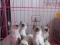 家养一窝超萌暹罗猫幼崽一窝,家养小猫,萌到哭,小猫