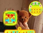 邦华狗场出售—泰迪熊犬一保健康一保纯种一签协议有保障