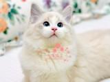 布偶猫成都哪里有卖的 布偶猫价格 布偶猫多少钱