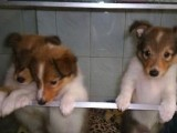 三亚哪有喜乐蒂犬卖 三亚喜乐蒂犬价格 三亚喜乐蒂犬多少钱
