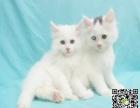 自家繁育纯血波斯幼猫多只弟弟妹妹都有可办理证书欢