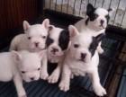 专业繁殖丨小短体 法斗幼犬丨基地直销法国斗牛犬