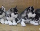 重庆狗狗之家长期出售高品质 哈士奇 售后无忧