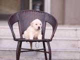 芜湖哪里有宠物狗卖纯种拉布拉多 嘴宽骨架大爪子大血统正