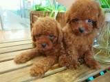 西安出售 纯种泰迪幼犬 疫苗齐全出售中 可签协议健康保障