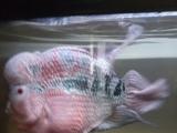 25公分罗汉鱼处理