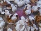 新会石涧清远走地鸡散养野山鸡土鸡 摘新会柑果 甜橙