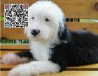 哪里出售古代牧羊犬犬 纯种古代牧羊犬犬多少钱