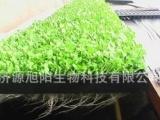 萝卜芽苗菜,高级萝卜苗栽培技术 旭阳生产萝卜芽苗菜