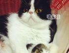 【喵雀楼】加菲猫 CFA注册猫舍 实体宠物店