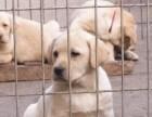 宜昌哪里有拉布拉多犬出售 疫苗齐全 可视频看狗 免费饲养指导