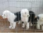 古牧活体 纯种白头古代牧羊犬幼犬出售古牧 宠物狗支持上门看狗