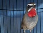 转红靛颏断八字素鸟一只