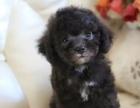 纯种的泰迪犬适合小孩养吗 性格怎么样