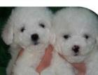家有泰迪熊幼犬转让、超可爱的、包健康