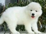微笑天使萨摩耶 甜美萌系爱犬将治愈你的心