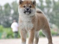 高品质柴犬 纯血统日系柴犬 疫苗驱虫齐全 可送货