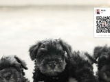 迷你雪纳瑞 巨型雪纳瑞 购犬可签协议 完美售后服务