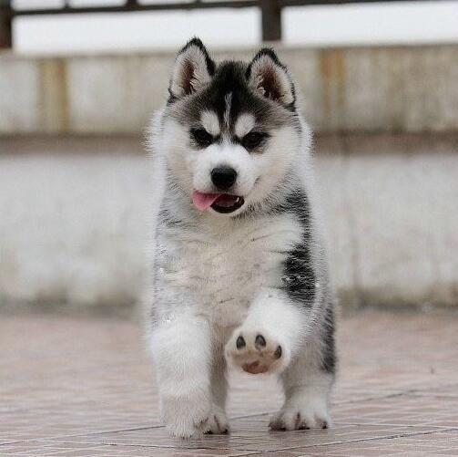 哈士奇什么地方买有保障 广州有正规养殖场出售纯种哈士奇犬吗