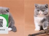 沈阳哪里有卖加菲猫 沈阳出售加菲猫 沈阳加菲猫买卖