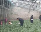 冬季采摘大优惠!优质草莓,大棚草莓采摘,来电预定!