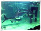 热带鱼观赏鱼金龙银龙血鹦鹉地图招财猫招财等等