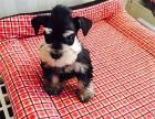 昆明 雪纳瑞幼犬 纯种健康保障 疫苗驱虫已做 签协议包售后