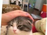 免费送一只折耳猫米,很健康,毛质漂亮