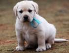 拉布拉多犬-大头宽嘴-健康品质保障-是你的理想爱宠