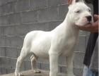 大头大骨架杜高犬 双血统杜高幼犬 品相 价格优惠