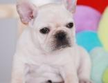 法国斗牛犬纯种家养繁殖小法斗出售精品家养活体宠物狗