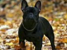 出售纯种法斗犬 法牛犬 品质好 质量保证