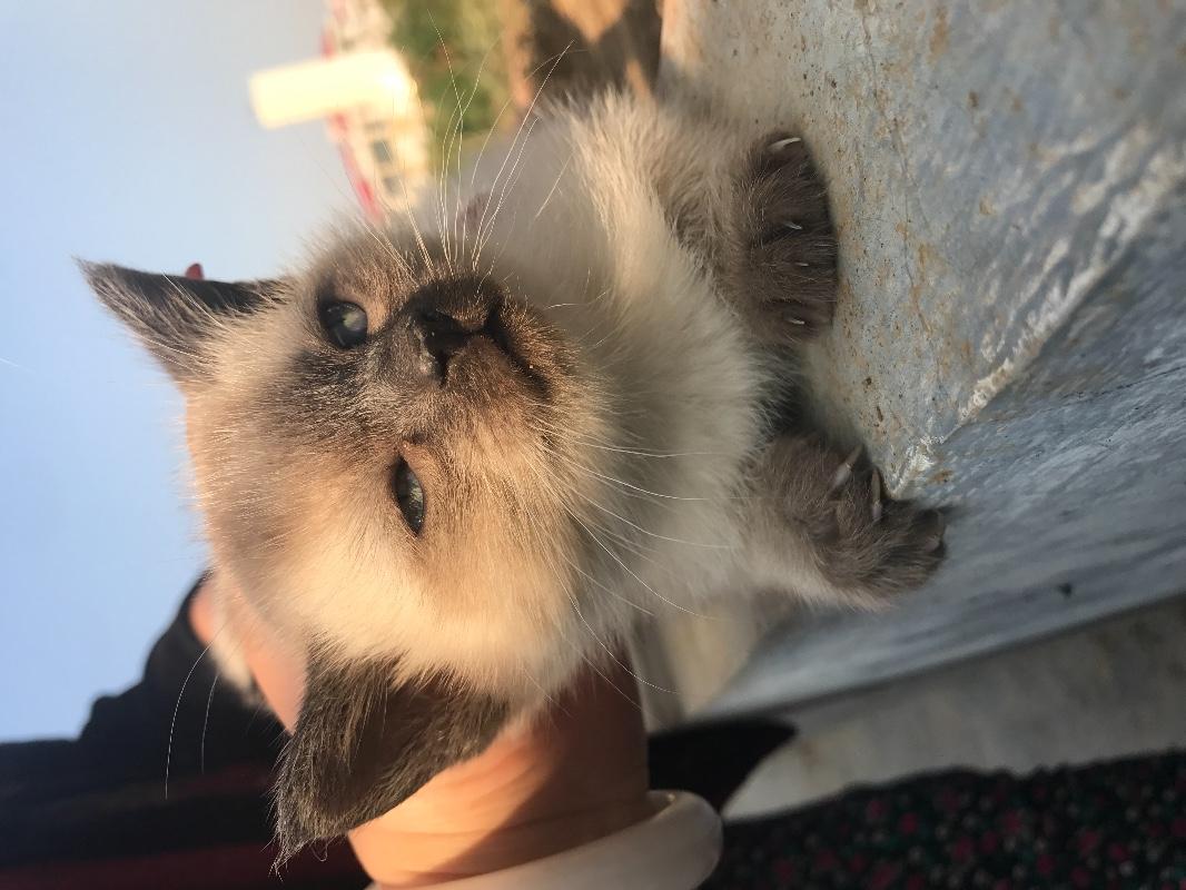 40天暹罗猫出售
