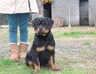 哪里有卖罗威纳罗威纳多少钱罗威纳图片罗威纳幼犬