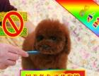 常年直销精品 泰迪熊 犬可上门看狗狗签订活体协议