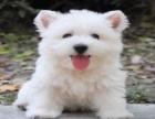 西高地幼犬 纯种西高地 纯白色聪明伶俐包健康可上门