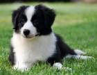 高端边牧繁殖犬舍 带血统证书芯片 cku认证犬舍 可签协议