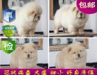 重庆出售 精品松狮幼犬 超低价 只限今天