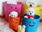 南京出售纯种比熊犬丶三包健康纯种保存活丶全国发货