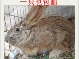 供应 纯野兔 内蒙野兔 赛场野兔 跑得快 狗撵野兔