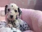 斑点狗2到3个月大 101忠狗