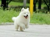 高品质纯种萨摩耶幼犬 幼犬待售中 专业繁殖品质保