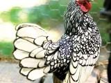 无锡帽子鸡 笨鸡 饲养帽子鸡 帽子鸡长期出售