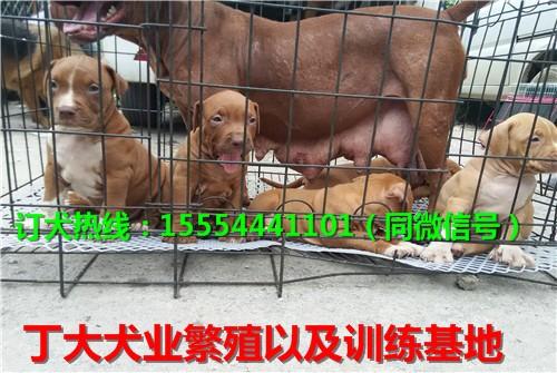 比特犬的价格,比特犬养殖基地,比特斗狗多少钱一只